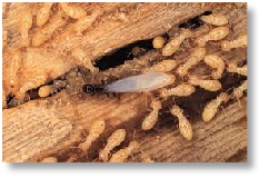 Termites and timber